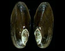 7764 Elliptio lanceolata - 60 mm - f+++ - USA - OLD COLLECTION