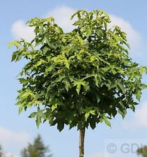 Alta esfera raíz amberbaum Gumball 100-125cm - Liquidambar styraciflua