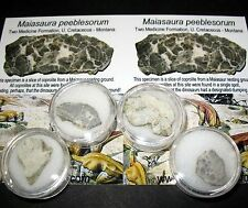 Cretaceous Maiasaur dinosaur coprolite poop fossil from nesting ground gem jar