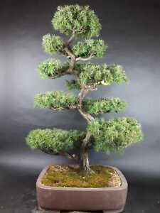 Bonsai - Igelwacholder, Juniperus Rigida, Tosho, Japan