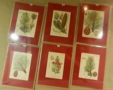 QueIIa botanica Pinus Pino solo 1x Schlechtendal LANGETHAL!