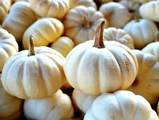 Little white pumpkin-baby boo - 40 graines-cucurbita pepo