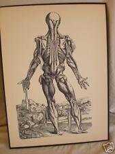 vintage ANATOMICAL MEDICAL PRINT human anatomy MUSCLE