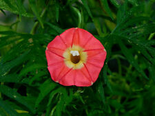 Apricot Candy Ipomoea Sloteri Morning Glory 6 Seeds - Limited Supply