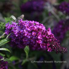 Buddleja Buzz Magenta Dwarf Buddleia Butterfly Bush 3 Litre Pot