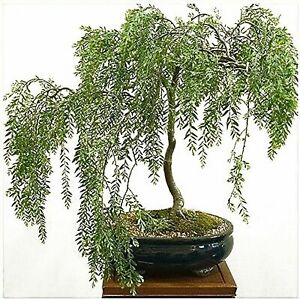 RARE Willow Bonsai Cutting - Grow Willow Bonsai