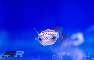 Porcupine Puffer, Saltwater, Not Reef Safe, Max Size 1', ATR