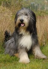Bearded Collie A6 Blank Card Design No 11 By Starprint