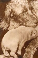 Piglet pig suckling Setter Dog France old Photo 1954