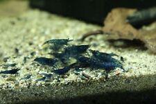 (10)Dream Blue Velvet Shrimp (Neocaridina davidi)