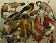 Antique Prints-BIRD-FINCH-NIGHTINGALE-TANGARA-CARDINAL-Meyers-1893