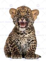 PHOTO NATURE ANIMAL SPOTTED LEOPARD CUB SNARL GROWL CAT POSTER PRINT BMP11271