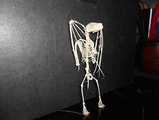 Big Larger Taxidermy Bat Skeleton Art Home wares  Weird Skull vampire 18 cm tall