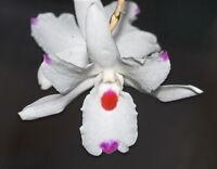 Rare orchid species keiki seedling plant - Dendrobium Annae