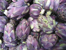 50 PURPLE ROMAGNA ARTICHOKE Italian Cynara Scolymus Flower Vegetable Seeds +Gift