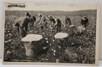 Greetings From the Sunny South Picking Cotton Postcard D13
