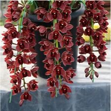 Bonsai 200pcs Dark Red  Cymbidium Orchid Flower Indoor Potted Flowers