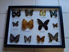 Framed & Mounted Beautiful Set Of 12 Taxidermy Butterflies. REAL Butterflies