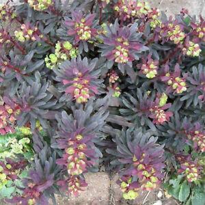 Euphorbia 'Purpurea' 9cm Plant x 2. Perennial Flowers.