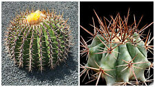 10 Samen der Echinocactus platyacanthus,Sukkulenten,seeds succulents  G