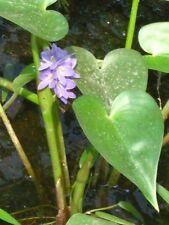 50 seeds, wood heart, water Monochoria vaginalis, Thai herbs