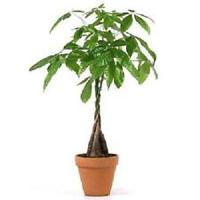 5 Money Tree Plants Braided Into 1 Tree 4