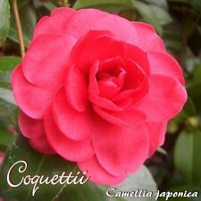 """Kamelie """"Coquettii"""" - Camellia japonica - 3-jährige Pflanze"""