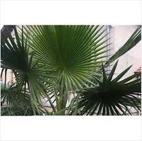 5 Washingtonia Robusta Fresh Palm Tree Seeds