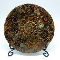Half Cut Ammonite Shell Jurassic Fossil Disc with Stand Madagascar 110MM