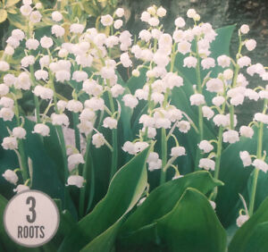 3LILY OF THE VALLEY-CONVALLARIA ROOTS PERENNIAL SPRING/SUMMER WHITE FLOWER PLANT