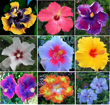 Hibiscus 🌺Rose of Sharon 50 Seeds RAINBOW Mixed Colors Bush Tree ON SALE