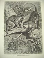 Original Antique Primates Print ~ 'West African Green Monkeys' c1889 ~ F. Specht
