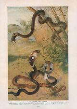 1911 NATURAL HISTORY DOUBLE SIDED PRINT RAT-SNAKE & COBRAS / NOSE HORNED VIPER