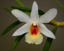 +1000 Semi Dendrobium christianum Orchidea Orchidee pod pods seeds korn semillas