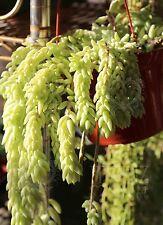 10 Leaves cuttings Sedum morganianum Donkey's Tail Succulent Cactus Cute rare