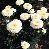 Aster -Pompon - White- 50 Seeds- BOGO 50% off SALE