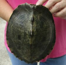 Real 8 inch Map Turtle Shells - Taxidermy Terrapin # 38496