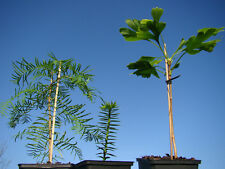 BLACK FRIDAY PLANT COLLECTION 1 Araucaria, 1 Metasequoia, 1 Ginkgo trees