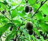 Roter Weinberg Pfirsich,Prunus,selbstbefruchtend,rote Frucht,winterhart!