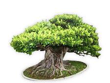 Ficus Benghalensis Tree 100+ Seeds, Banyan, Bengal Fig, East Indian Fig Bonsai,A