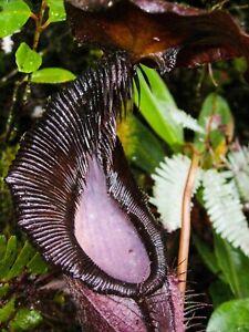 Nepenthes Izumiae 🌱 Beautiful Highlander 🌱 10 FRESH Seeds