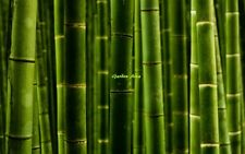 50 Graines  (09/2017) Phyllostachys Pubescens Giant Moso Bamboo bulk Seeds