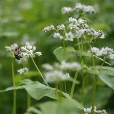 Wheatgrass Buckwheat combo 1oz Organic Sprouting ,Flowering  Bee's, Micro Greens