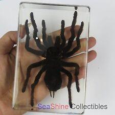 Real Insect specimen - Huge Giant Tarantula Spider (Golden Earth Tiger)
