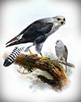 Dickinson's Kestrel Bird Art by Joseph Wolf. Canvas Bird Art.  11x14 Print