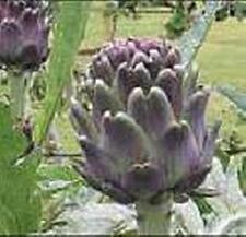 Artichoke Violet Seeds