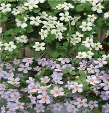 Fleur-bacopa topia mixte - 5 graines