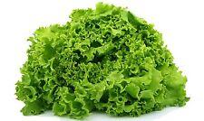 60 Graines de Laitue Batavia dorée de printemps Méthode BIO seeds salade légumes