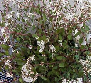 Eupatorium rugosum 'Chocolate' - 3 x Purple Foliage Perennial Plants in 9cm Pots