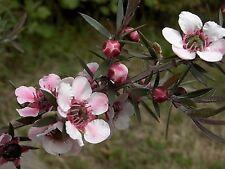 SEEDS 80 graines de MANUKA DES MAORIS(Leptospermum Scoparium) SAMEN SEMILLAS